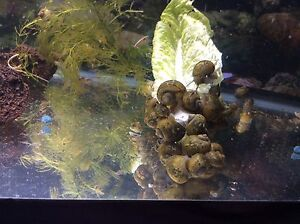 Mystery snails for sale.