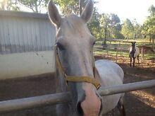 Clyde x quarter horse South Maclean Logan Area Preview