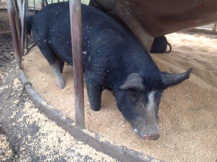Purebred Berkshire  piglets