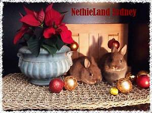 ❤Little Reindeer Rabbits ❤ Baby Chocolate Otters Roseville Ku-ring-gai Area Preview
