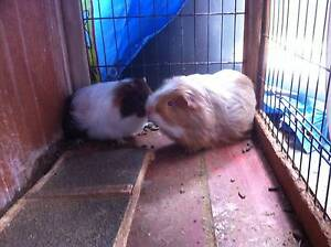 Guinea Pigs for sale ($25 each) Cranbourne East Casey Area Preview