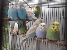 Baby budgies Medowie Port Stephens Area Preview
