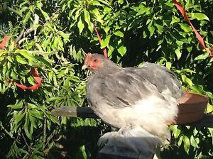Pekin bantam roosters FREE! Palmwoods Maroochydore Area Preview