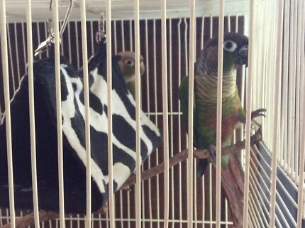Greencheek conure pair plus cage Helensvale Gold Coast North Preview