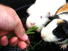 Cute and lovely Guinea pig couple West Ryde Ryde Area Preview