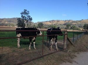 Friesian Steers Moore Creek Tamworth Surrounds Preview
