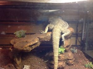 Male bearded dragon looking for a new home