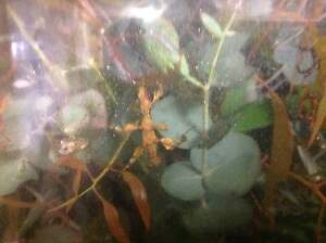 Spiny Leaf Insects - Female Nymphs available now!!!! Elizabeth Downs Playford Area Preview