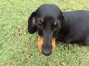 100% Guaranteed pure bred dachshunds Black and Tan girls Gympie Gympie Area Preview