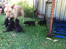 kELPIE PUPS PURE BREED Gingin Gingin Area Preview