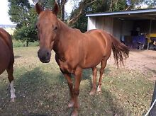 """Kings Phillip"" quarter horse mare Blakebrook Lismore Area Preview"