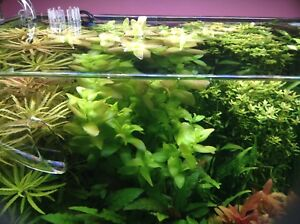 Aquarium Plants For Sale Very Cheap Perfect For Shrimp And Fish