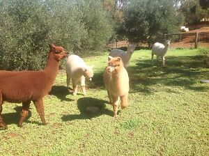 ALPACAS FOR SALE Toodyay Toodyay Area Preview