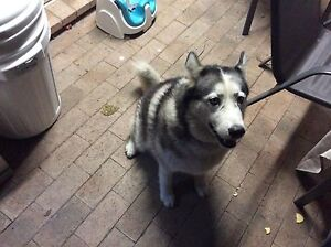 Free to good home purebred Siberian husky Annandale Townsville City Preview
