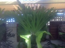 Stag Horn Fern Alexander Heights Wanneroo Area Preview