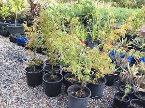 8 Japanese maple trees in 200 mm pots Leppington Camden Area Preview
