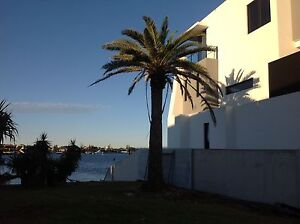 Canary Palm tree Runaway Bay Gold Coast North Preview