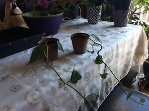 Two starter ivy plants