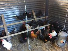 Good quaility purebred laying hens Elimbah Caboolture Area Preview