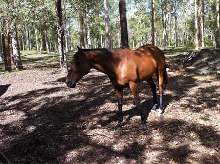 Exceptional TB Mare - 16h Experienced Pony Club Horse Hillville Greater Taree Area Preview