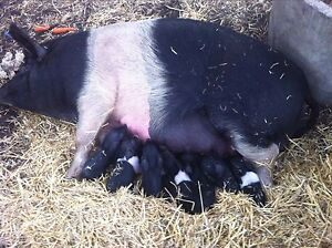 PIGS FOR SALE Forrestdale Armadale Area Preview