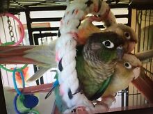 Baby Green Cheeked Conures Sunbury Hume Area Preview