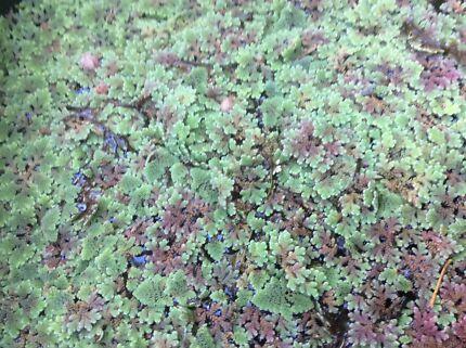 DUCKWEED (POND PLANT) Woodcroft Morphett Vale Area Preview