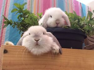 ★Genuine Purebred★ Baby Mini Lop Rabbits White Frosty, Seal Point Chatswood Willoughby Area Preview