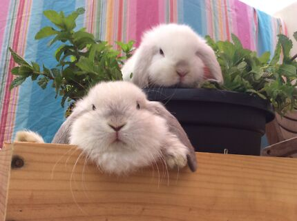 ★Genuine Purebred★ Baby Mini Lop Rabbits White Frosty, Seal Point