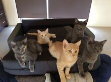 5 Beautiful Kittens Canungra Ipswich South Preview
