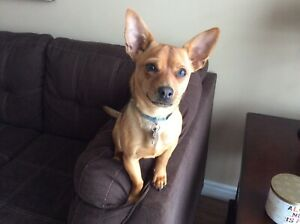 *** on hold*** 8 month old chihuahua male puppy