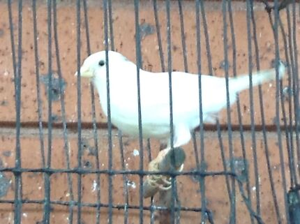 Yorkshire Canaries For Sale Quality Canaries For Sale