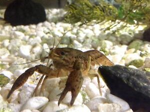 Baby Crayfish for sale
