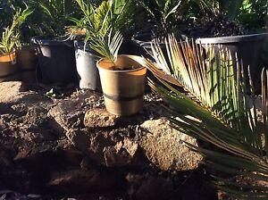 Cycad revoluta Orange Grove Gosnells Area Preview