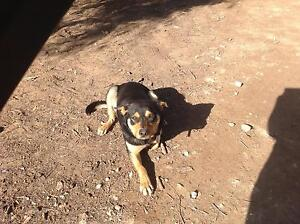 Friendly Kelpie Dog for sale Murray Bridge Murray Bridge Area Preview