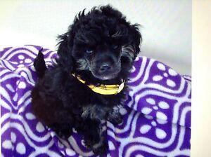 Phantom Tiny Toy Poodle. Werribee Wyndham Area Preview