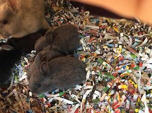 Baby netherland rabbits for sale Lennox Head Ballina Area Preview
