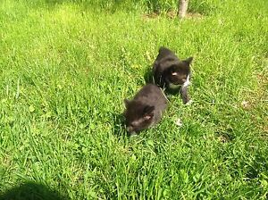 Manx kittens for sale(reduced)