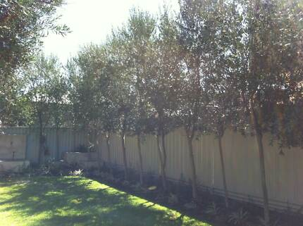 Olive Trees North Perth Vincent Area Preview