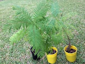 Jacaranda tree plants Hurstville Grove Kogarah Area Preview