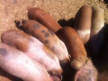 Piglets for sale Winkie Berri Area Preview