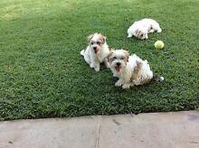 Puppies for sale Merrylands Parramatta Area Preview