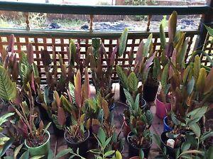 23 calathea in 200 mm pots Leppington Camden Area Preview