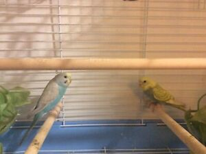 Fancy Pair Budgies