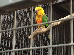 Female Jenday conure Mount Gambier Grant Area Preview