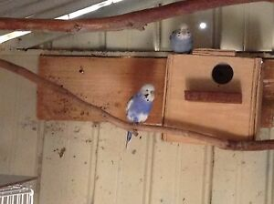 Pair of budgies breeding pair Angle Vale Playford Area Preview