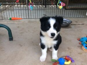 Border Collie Pup's