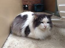 Found - Large white and grey cat Maida Vale Kalamunda Area Preview