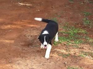 Border Collie pup Mount Garnet Tablelands Preview