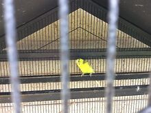 Yellow male budgie cage and stand Upper Coomera Gold Coast North Preview